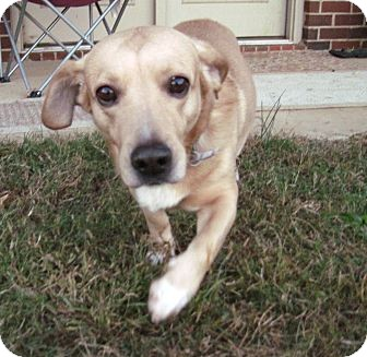 Corgi/Labrador Retriever Mix Dog for adoption in Homewood, Alabama - Conrad