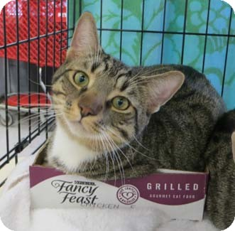 Domestic Shorthair Kitten for adoption in Merrifield, Virginia - Freckles