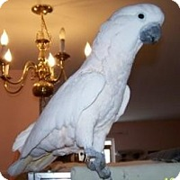Cockatoo for adoption in Northbrook, Illinois - Peachie