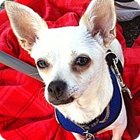 Adopt A Pet :: Joey - Santa Monica, CA