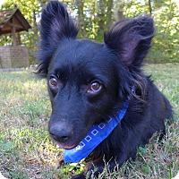 Adopt A Pet :: Orson - Mocksville, NC