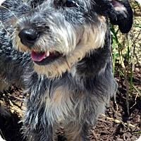 Adopt A Pet :: Muggsley - Bridgeton, MO