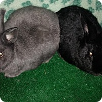 Adopt A Pet :: Hamlet and Macduff - Garland, TX