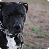 Adopt A Pet :: Tank - Stroudsburg, PA