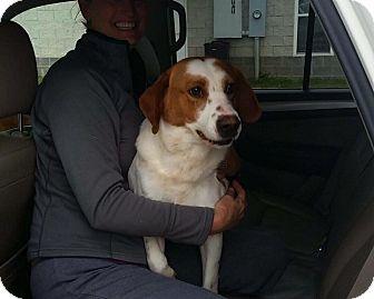 Hound (Unknown Type)/Spaniel (Unknown Type) Mix Dog for adoption in Summerville, South Carolina - Tripp