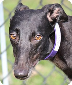 Greyhound Dog for adoption in Longwood, Florida - Anagram