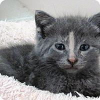 Adopt A Pet :: kitten #2 - Lebanon, PA