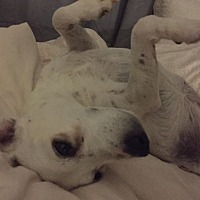 Jack Russell Terrier Dog for adoption in Los Angeles, California - Sadie