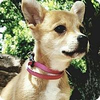 Adopt A Pet :: Annabel - Dallas, TX