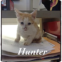 Domestic Shorthair Kitten for adoption in Dillon, South Carolina - Hunter