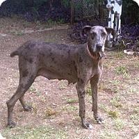Adopt A Pet :: Sassy - Austin, TX