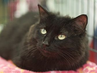 Domestic Longhair Cat for adoption in Great Falls, Montana - Baby Black