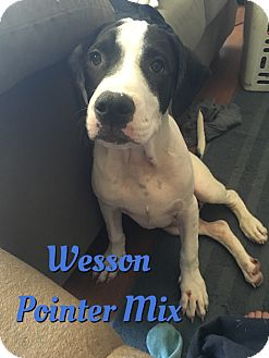 German Shorthaired Pointer Mix Puppy for adoption in Cheney, Kansas - Wesson