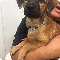 Adopt A Pet :: Princess Dowdy - Allen, TX