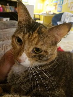 Domestic Shorthair Cat for adoption in Asheville, North Carolina - Chloe