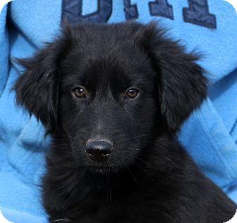 Australian Shepherd/Labrador Retriever Mix Puppy for adoption in Glastonbury, Connecticut - Charming~adopted!