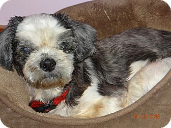 Shih Tzu Dog for adoption in Seymour, Connecticut - Willow:gentle girl (NY)