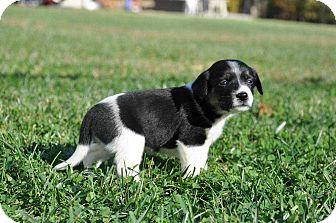 Labrador Retriever/Border Collie Mix Puppy for adoption in MCLEAN, Virginia - Olive