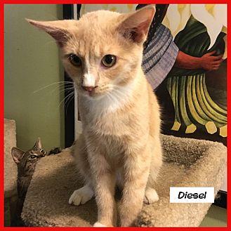 Domestic Shorthair Cat for adoption in Miami, Florida - Diesel