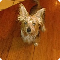 Adopt A Pet :: Scrappy - Manhattan, KS