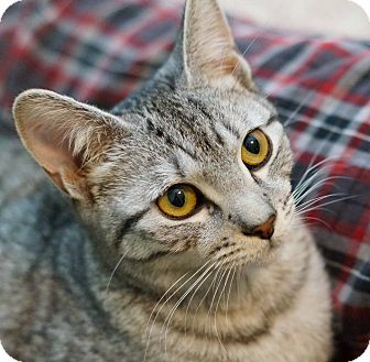 Domestic Shorthair Kitten for adoption in Lombard, Illinois - Brewster