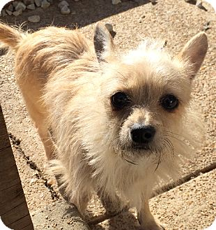Chihuahua/Yorkie, Yorkshire Terrier Mix Dog for adoption in St. Louis, Missouri - Roo
