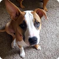 Terrier (Unknown Type, Medium) Mix Puppy for adoption in Detroit, Michigan - Cheez-It