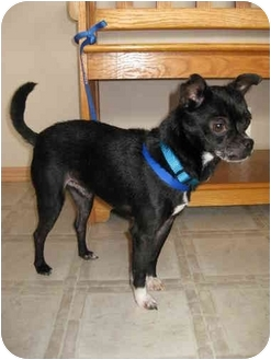 Chihuahua/Boston Terrier Mix Dog for adoption in Roodhouse, Illinois ...