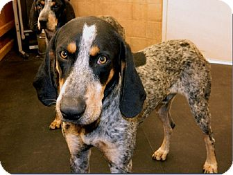 Bluetick Coonhound Dog for adoption in Sacramento area, California - King Creole