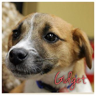 Jack Russell Terrier Mix Puppy for adoption in Garden City, Michigan - Gidget