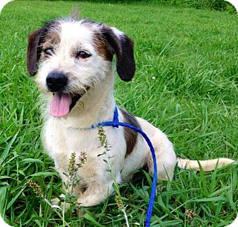 Terrier (Unknown Type, Small) Mix Dog for adoption in Manhasset, New York - Chipper