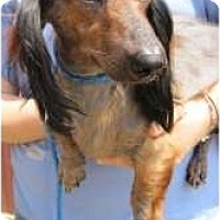 Adopt A Pet :: Toby the Dachshund - Richmond, VA