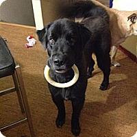 Adopt A Pet :: Bonnie - Silverthorne, CO