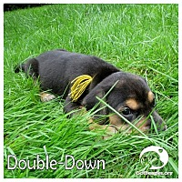 Adopt A Pet :: Double-Down - Novi, MI
