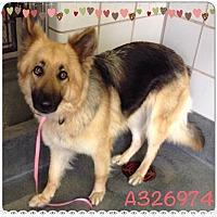 German Shepherd Dog Dog for adoption in SAN ANTONIO, Texas - PORSCHE