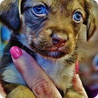 Adopt A Pet :: Puppies - Surrey, BC
