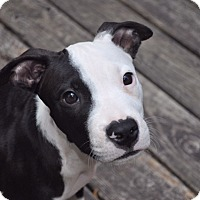 Adopt A Pet :: WIDGET - Nashville, TN