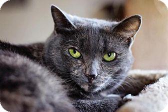 Domestic Shorthair Cat for adoption in Markham, Ontario - Simone