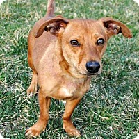 Dachshund Mix Dog for adoption in Andover, Connecticut - SKEETER