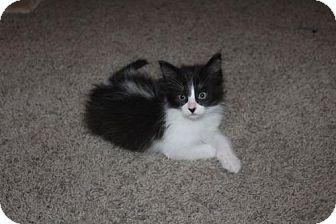 Domestic Shorthair Kitten for adoption in Oviedo, Florida - Einstein