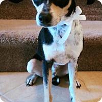 Adopt A Pet :: Boytoy - Davie, FL