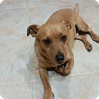 Adopt A Pet :: Lewis - Las Vegas, NV