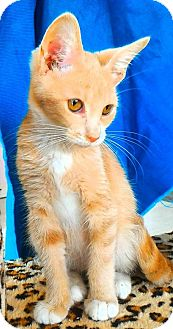 Domestic Shorthair Kitten for adoption in Akron, Ohio - Baby Kitten Katashian ~Kim
