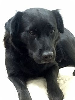 Flat-Coated Retriever Mix Dog for adoption in New Canaan, Connecticut - Ebony