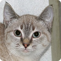 Siamese Kitten for adoption in Ruidoso, New Mexico - Tess