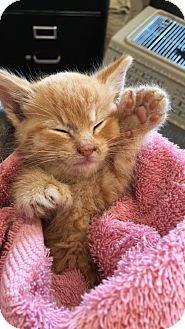 Domestic Shorthair Kitten for adoption in Fargo, North Dakota - Tidbit