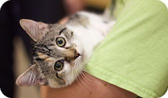 American Shorthair Kitten for adoption in Sioux Falls, South Dakota - Tambourine
