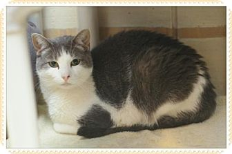 Domestic Shorthair Cat for adoption in Island Heights, New Jersey - Muffin