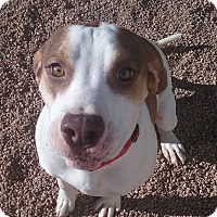Adopt A Pet :: Simon - Colorado Springs, CO