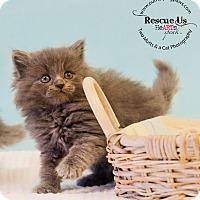 Domestic Longhair Kitten for adoption in Washburn, Wisconsin - Cascade